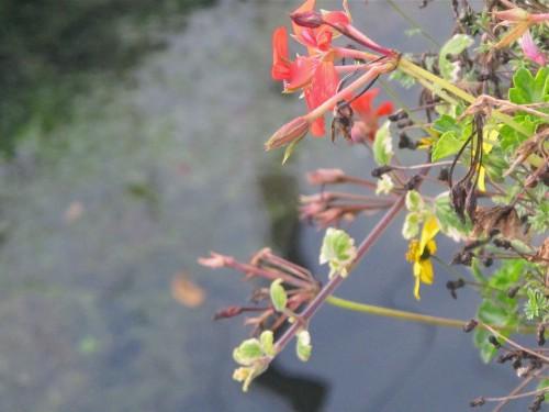 Fleurs sur l'eau.jpg