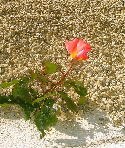 Rose dans les cailloux.jpg
