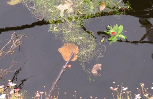 branche et fleur sur l'eau.jpg